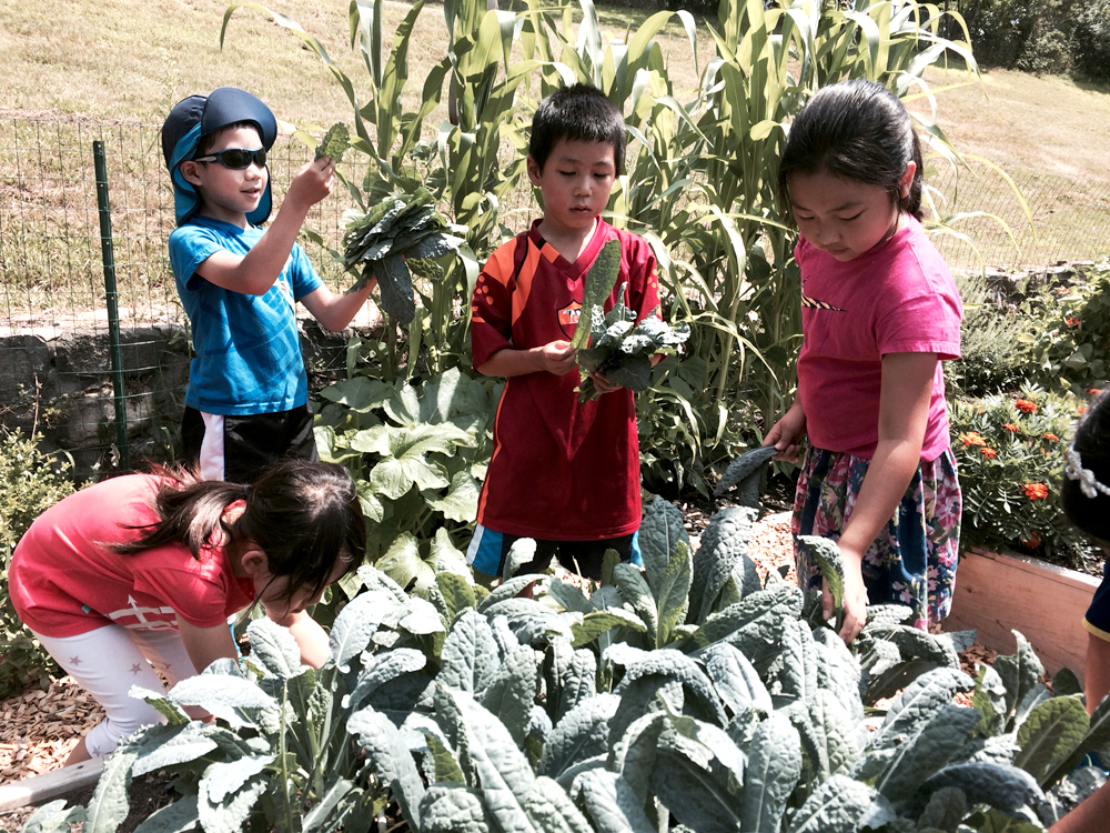 BASEC summer camp students picking kale in the Burbank vegetable garden