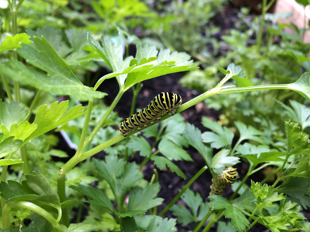 Black Swallowtail caterpillars in the parsley